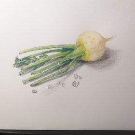 色鉛筆アート‗カブ
